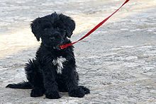 Portuguese Water Dog Small Size