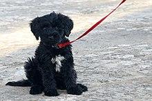 Portuguese Water Dog, The Algarve, Portugal