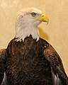 Posing for picture with Bald Eagle. (10597121434).jpg