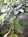 Possible Ulmus 'Scampstoniensis' - Leaves. Buckingham Terrace, Edinburgh.jpg