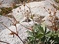 Potentilla diversifolia (5066465236).jpg