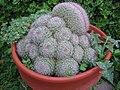 Potted Mammillaria, var. cristata.jpg