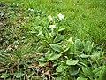 Primrose (Primula vulgaris) - geograph.org.uk - 348327.jpg