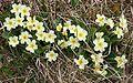 Primrose (Primula vulgaris) - geograph.org.uk - 823532.jpg