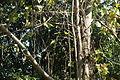 Princess Tree (Paulownia tomentosa) (21715087523).jpg
