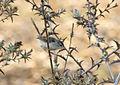Prinia gracilis - Graceful prinia.jpg