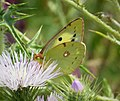 Probably Clouded Yellow female. Colias croceus (43712203105).jpg