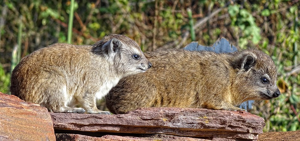 Procavia-capensis-Posing
