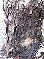 Prunus persica 2.jpg