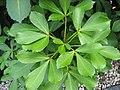 Pseudopanax-lessonii-004.jpg