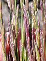 Pseudoroegneria spicata inermis (3877938124).jpg