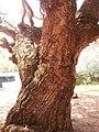 Pterocarpus marsupium.jpeg