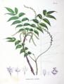Pterocarya rhoifolia SZ150.png