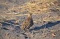 Pterocles burchelli -Kalahari, Botswana-8.jpg