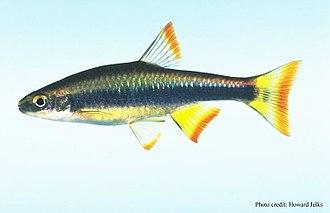 Shiner (fish) - Image: Pteronotropis signipinnis