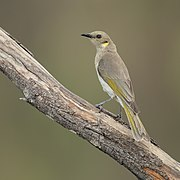 Ptilotula fusca - Glen Alice.jpg