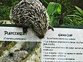 Puercoespín Zoológico Caricuao.jpg