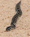 Puff Adder (Bitis arietans) juvenile (16750682936).jpg