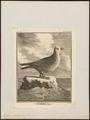 Puffinus kuhlii - 1700-1880 - Print - Iconographia Zoologica - Special Collections University of Amsterdam - UBA01 IZ17900013.tif