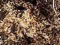 Pupae of ants.jpg