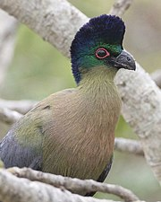Purple-crested Turaco (Tauraco porphyreolophus)