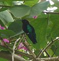 Purple-throated Carib. Eulampis jugularis. - Flickr - gailhampshire.jpg