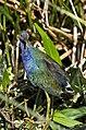 Purple gallinule immature green cay dec (14104823728).jpg