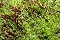 Pylaisia polyantha (d, 144620-474601) 6356.JPG
