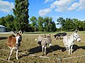 Quatre ânes, France.jpg