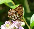 Queen of Spain Fritillary (Issoria lathonia) - Flickr - gailhampshire (2).jpg
