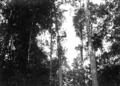 Queensland State Archives 1388 An aboriginal climbing a tree in the Jungle Malanda NQ c 1935.png