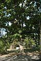 Quercus macrocarpa (24141441616).jpg