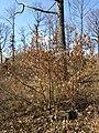 Quercus petraea (s. lat.) sl14.jpg