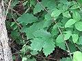 Quercus prinoides leaves.jpg