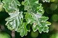 Quercus robur in Aveyron 09.jpg