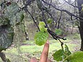 Quercus semecarpifolia 06.jpg