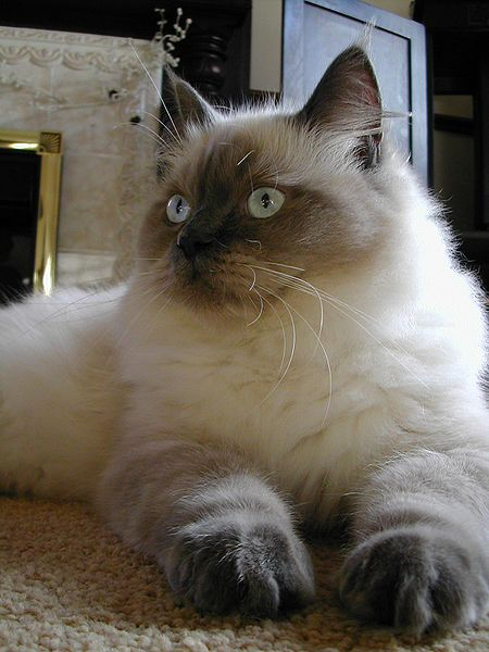 Cat Breeds, Ragdoll Cat, Choosing A Pet,