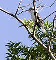 Rainforest kookaburra 3 (8667601412).jpg