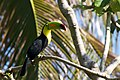 Ramphastos sulfuratus -Belize-8.jpg