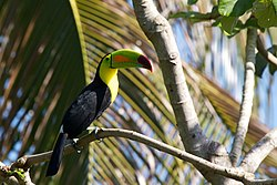 野生彩虹巨嘴鳥,攝于伯利茲