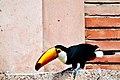 Ramphastos toco -Montecasino Bird Gardens, Montecasino, Fourways, Johannesburg, South Africa-8a (2).jpg