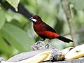 Ramphocelus melanogaster - Black-bellied Tanager 2.jpg