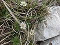 Ranuncolo di Kerner (Callianthemum kernerianum Freyn ex A. Kern) 3.jpg