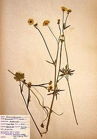 Ranunculus acris BW-1966-0529-0878.jpg