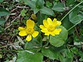 Ranunculus bullatus.JPG