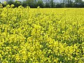 Rapeseed field in Wacton - geograph.org.uk - 133098.jpg