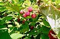 Raspberries on the cane.jpg