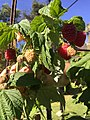Raspberries on the vine.jpg