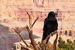 Raven - Grand Canyon (14952880968).jpg