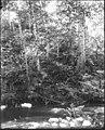 Ravenna Park woods and stream, June 3, 1895 (SEATTLE 4597).jpg